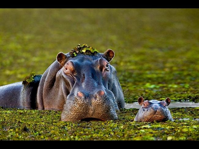 A hippo takes a cue from its mother as it lifts its young head to gulp some air. Picture: Getty