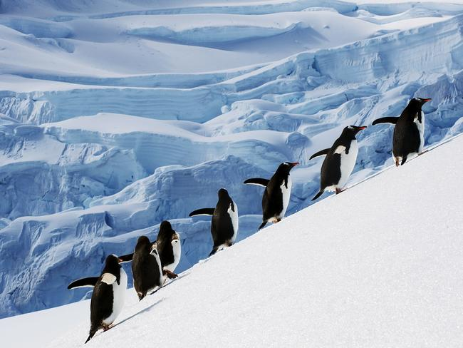 Wipe-out ... more than 150,000 Adelie penguins died after becoming landlocked by a giant iceberg in East Antarctica. Picture: Thinkstock
