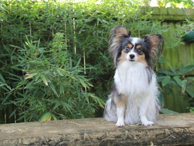 2.9kg Papillon pooch, Prinni who was kicked by its owners boyfriend and sustained 14 fractures.