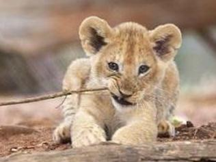 One of the lion cubs plays with a stick. Picture: Cormac Hanrahan
