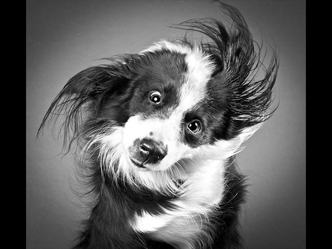 Bailey, Border Collie: incredible pooches caught mid-shake by Carli Davidson. Photo: carlidavidsonphotography.com