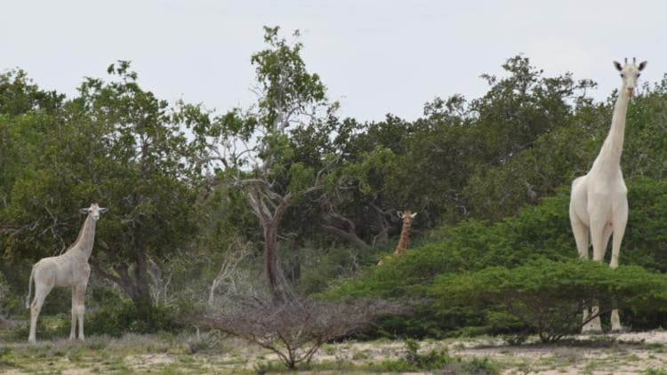 A white giraffe and its 'fading' calf, with a normally coloured calf in the background. Picture: Hirola Conservation Program