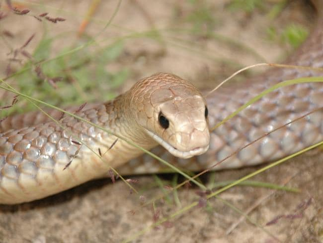 The eastern brown snake accounts for 65 per cent of snake bite deaths in Australia since 2000. Pic: The Australian Reptile Park