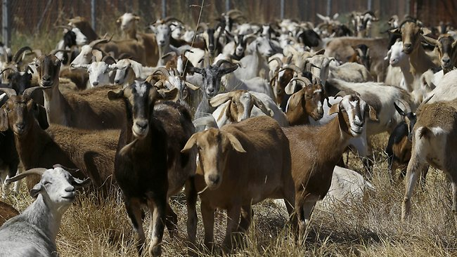 Goats graze on a patch of San Francisco International Airport land to clear from an area of brush prone to fire.