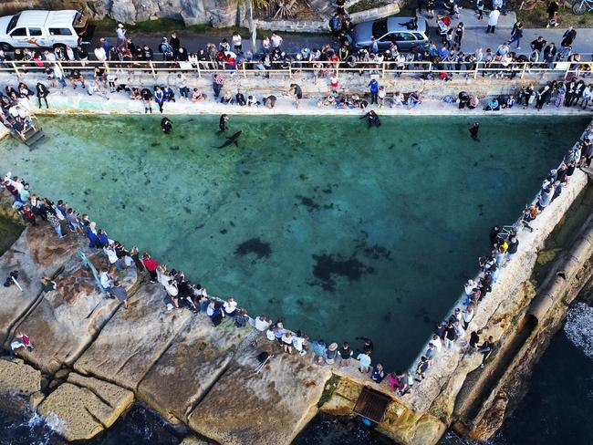 An injured great white shark that washed itself onto Manly Beach was taken to Fairy Bower ocean pool by Manly SeaLife Sanctuary staff to assess its condition. Picture: Toby Zerna