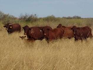 30/04/2004: Cattle on S Kidman and Co's Durrie station in the Channel Country of outback Australia.