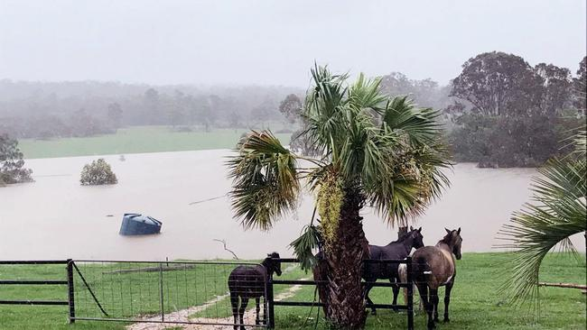 Farm animals shelter from the heavy rain as water rises on a property at Lowmead in Queensland. Picture: AAP/Supplied by Jess Keenan