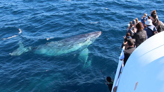 One of the first whales of the season passes the Coast. Photo by Sea World Whale Watch