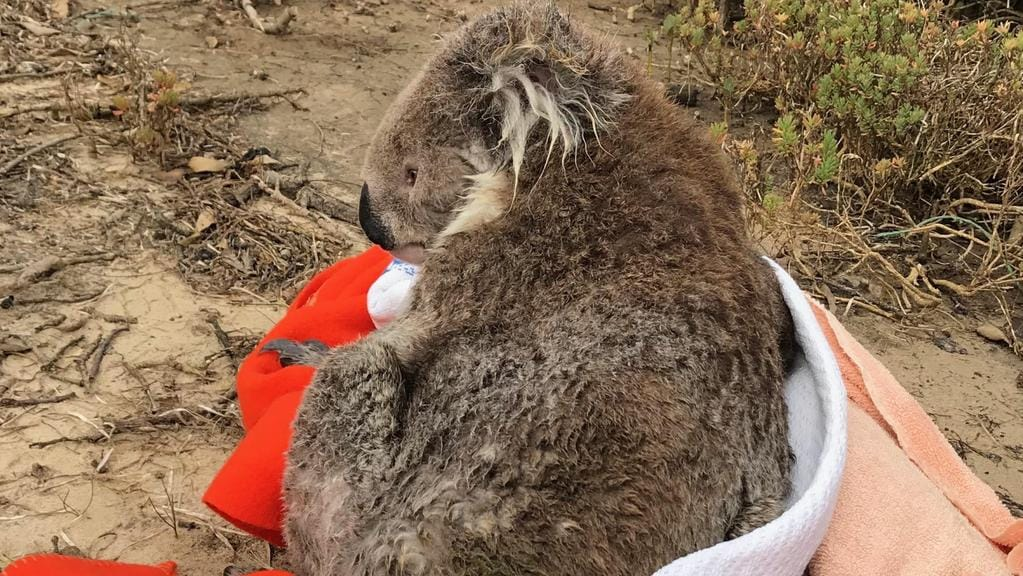 A koala had a lucky escape this morning after it was found stranded on swing moorings of a boat in Victoria's Westernport. Picture: Supplied