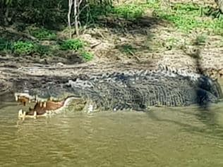 Supplied Editorial Fwd: 5M Monster Croc on the Mary River