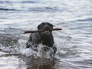 Ruby the 6-year-old black labrador retrieves a stick at Kingston. Picture: LUKE BOWDEN