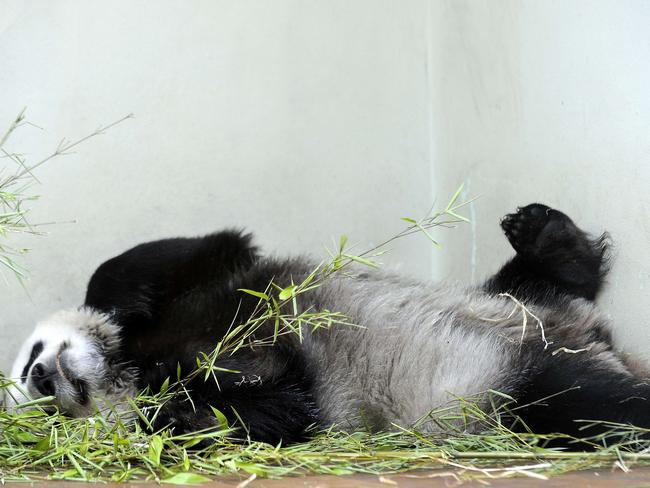 Sweetie ... Tian Tian relaxes in her compound at Edinburgh Zoo. Picture: Andy Buchanan