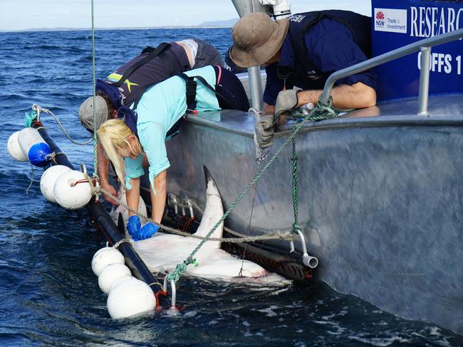 A white shark in caught and being fitted with an acoustic tag. Source: NSW Fisheries