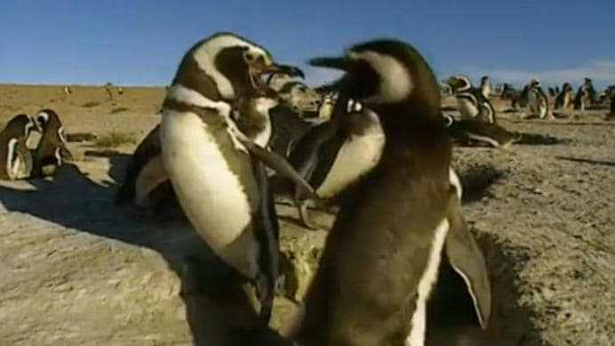 Magellanic penguins ... they look cute, but any bird that wanders too close to a nest is viciously attacked.