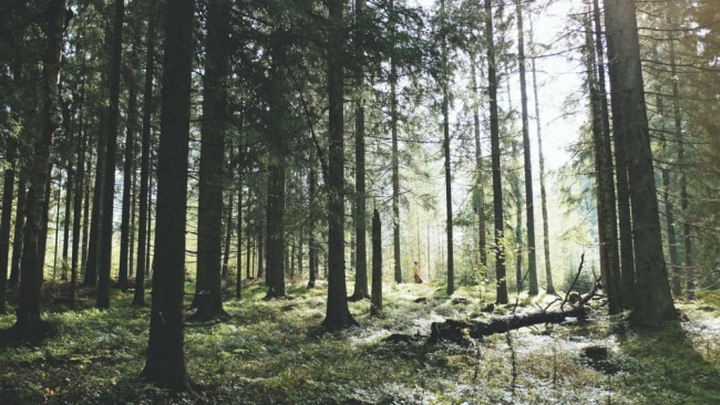 A wood in Finland. Photo: Supplied