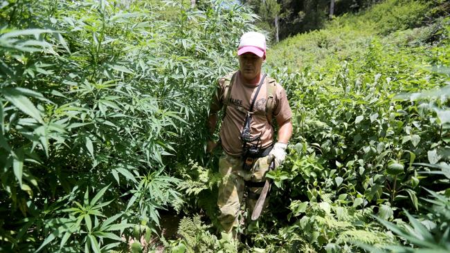 NSW Drug Squad Detective Senior Sergeant Alex Dipple removes some cannabis plants from a remote property / Picture: Nathan Edwards
