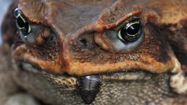 Image result for canetoad crushing cockroach