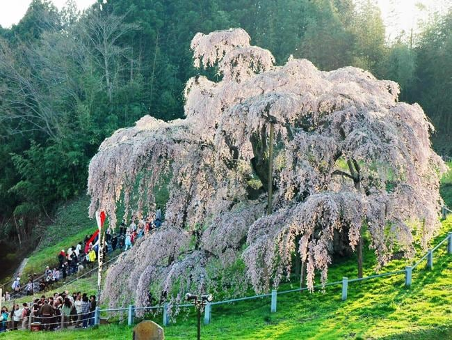 Crowds admire a 1000-year-old cherry blossom tree at Miharu in northern Japan in 2008. The Japan Aerospace Exploration Agency (JAXA) approved a project to send the seeds of the cherry tree to the Japanese laboratory at the International Space Station. Picture: Jiji Press