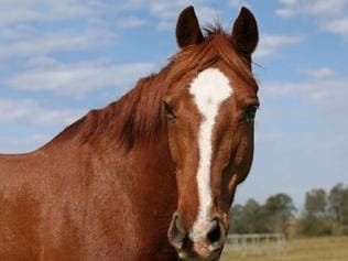 Undated : generic chestnut horse with a white blaze on its face. Pic. Pete Johnson