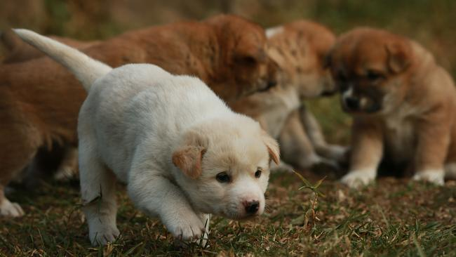 The litter has one white pup and 6 red ones. Picture: Toby Zerna