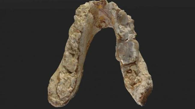 The lower jaw of the Graecopithecus freybergi Credit: Wolfgang Gerber, University of Tübingen
