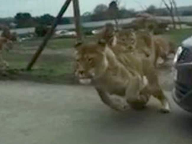 Lions on the loose. Picture: Supplied