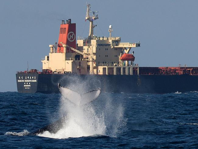 A humpback whales waves goodbye to a coal ship leaving Newcastle Port. Photo: Peter Lorimer.