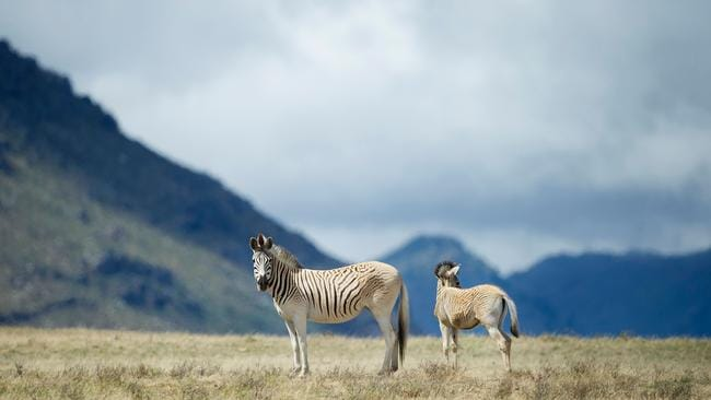 A small group of scientists and conservationists believe they have recreated the quagga, which is distinct from other zebra mainly through the lack of the characteristic black and white stripes on its hindquarters. Picture: Rodger Bosch