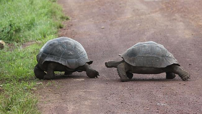 Galapagos Tortoises. Picture: Chanel Parratt