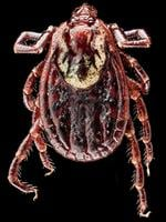 The Dog Tick, Dermacentor variabilis, in its splendor of beet overtones and resistance to vilification. Found crawling on me in Beltsville, Maryland. Picture: Sam Droege