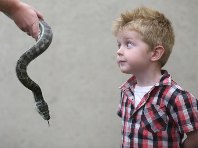 SNAKE EYES: Luke Phelan, 3, from Birkedale, with Scully the Carpet Snake at the Rapt in Reptiles show at the Queensland Museum. Pic: Jamie Hanson