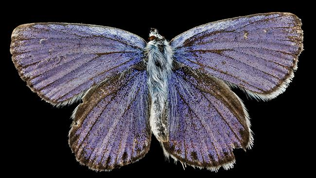 The Endangered Karner Blue, Lycaeides melissa samuelis