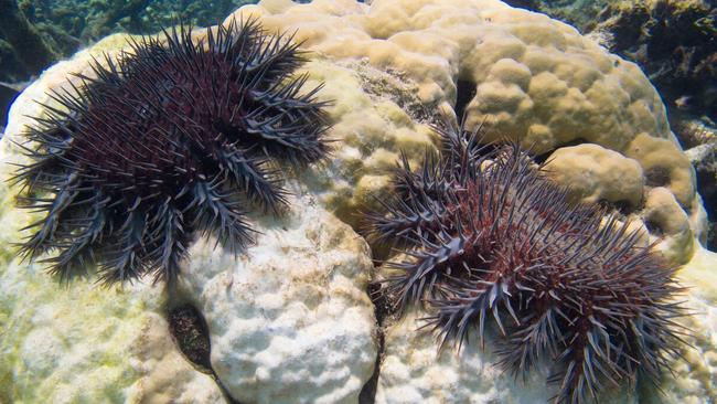 The crown-of-thorns starfish is one of the biggest threats faced by the Great Barrier Reef. Picture: AAP / James Cook University
