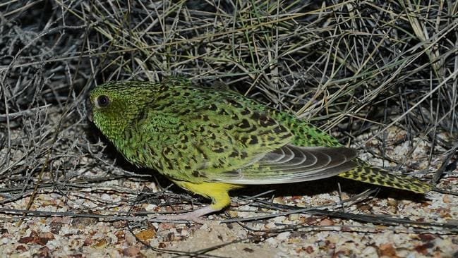 Night parrots were thought to be extinct. Picture: AWC