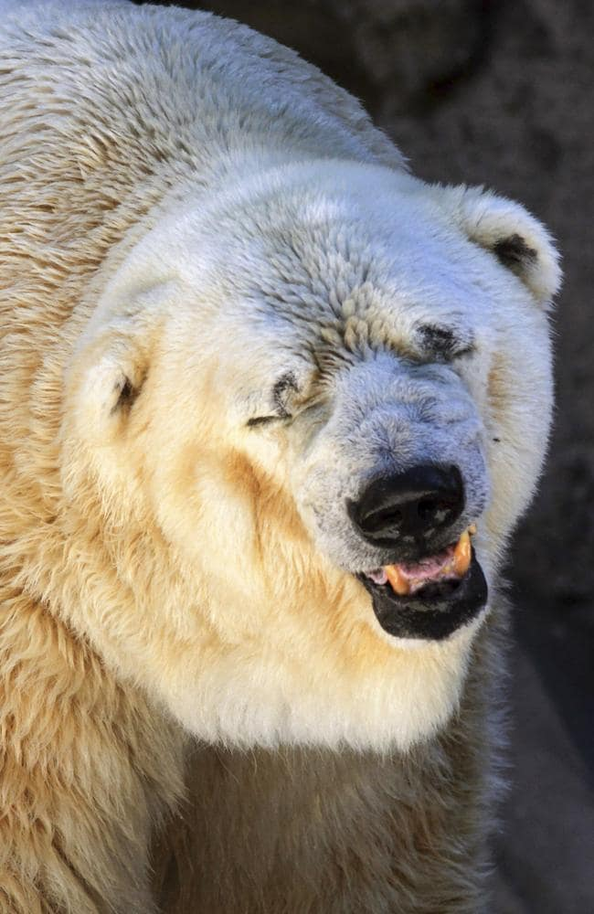 Lonely ... Arturo's partner, a polar bear named Pelusa (Fuzz), died of cancer in 2012. Pic: Delfo Rodriguez/Greenpeace