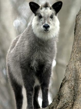 Yeti by another name ... The Serow, a goatlike or antelope-like mammal from Central Asia.