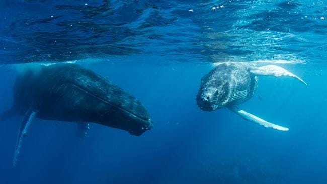 Whales can be confused for submarines themselves in the absence of an overarching regulator in the Indo-Pacific oceans.