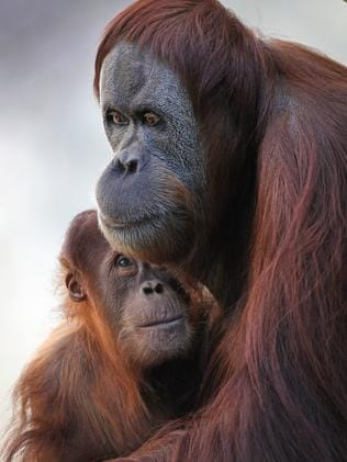 Baby Dewi with her mother Maimunah at Melbourne Zoo. Picture: David Caird.