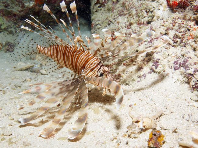 A lion fish. Picture: Lindsay Moller
