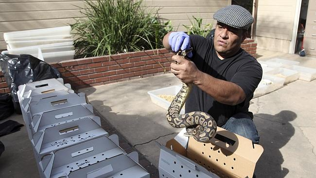 Slippery work ... Tommy Munoz from the Herpetology Association Rescue prepares a python for transport.