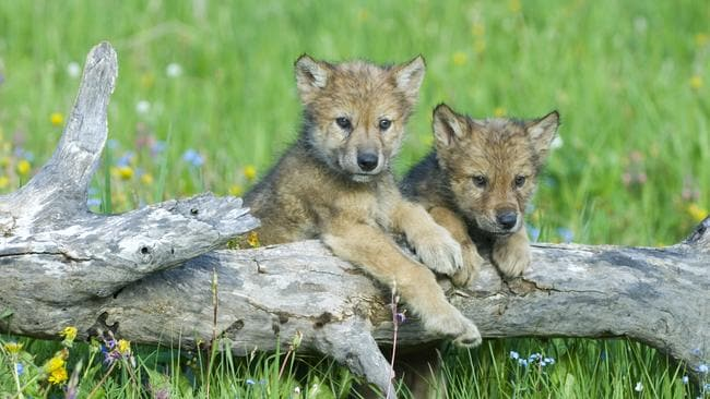 Dens are no longer the safe havens they were for young cubs. Picture: John Pitcher