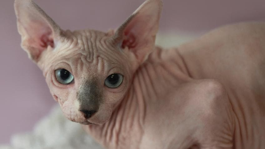 This is what a real sphinx hairless cat looks like