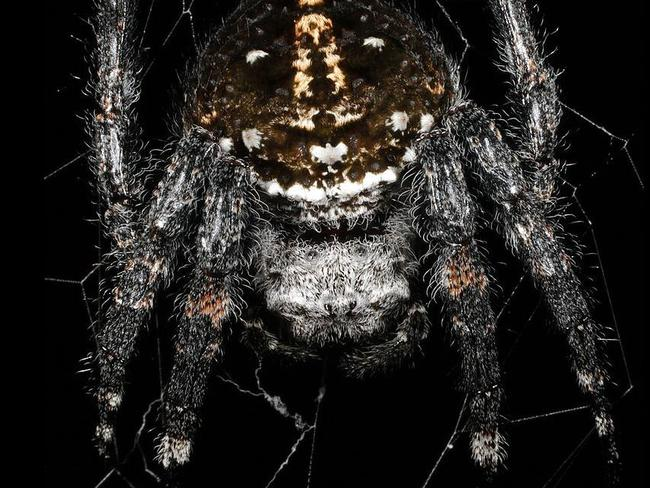 Male spider gives oral 100 times during sex