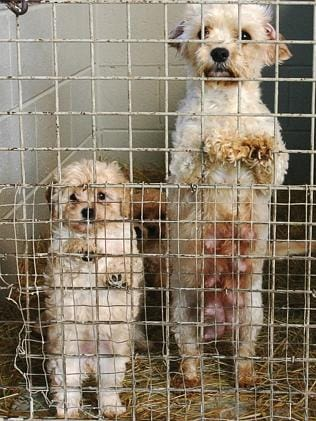 Afemale dog and her puppy. Picture: Noah Hannibal, Animal Liberation Victoria