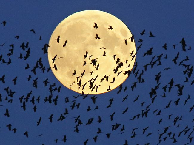 A flock of birds fly by as a perigee moon, also known as a super moon, rises in Mir, Belarus. Picture: AP / Sergei Grits