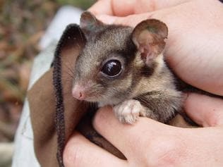 Leadbeater's Possum. Picture: Zoos Victoria