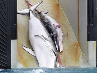 "(FILES) This undated file picture released on February 7, 2008 by the Australian Customs Services shows a mother whale and her calf being dragged on board a Japanese ship after being harpooned in Antarctic waters. More than 80 nations square off in Slovenia next week over the fate of the world's remaining whales, facing a multitude of perils from meat hunters and ship strikes to getting snared in fishing gear.The stage is set for heated debate, as the 88 members of the International Whaling Commission (IWC) are deeply divided along pro- and anti-hunting lines. / AFP PHOTO / AUSTRALIAN CUSTOMS SERVICE / HO / RESTRICTED TO EDITORIAL USE - MANDATORY CREDIT ""AFP PHOTO / AUSTRALIAN CUSTOMS SERVICE"" - NO MARKETING NO ADVERTISING CAMPAIGNS - DISTRIBUTED AS A SERVICE TO CLIENTS"