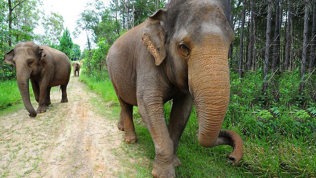 Australia's oldest elephant, Siam.