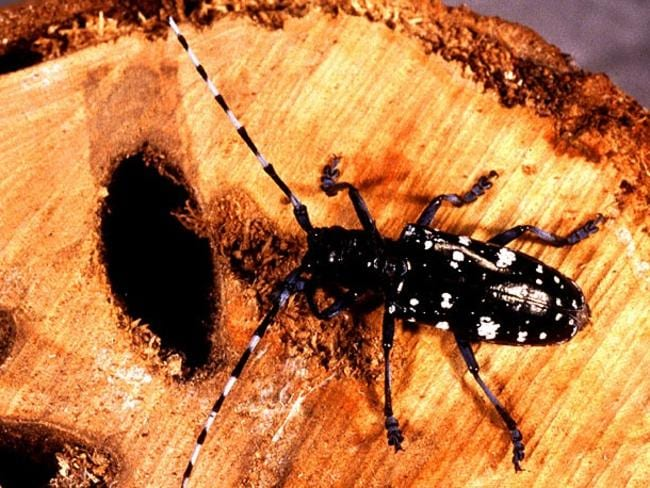 The longhorn beetle ravished woodlands.