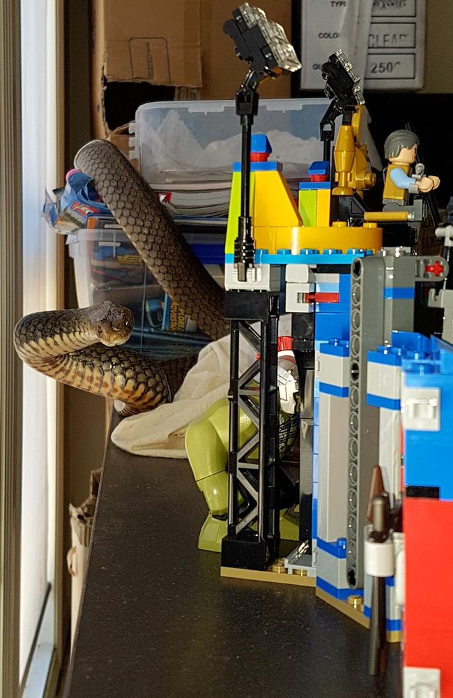 An eastern brown snake was found wrapped around a child's playset in a Gold Coast home today. Picture supplied by Tony Harrison of Gold Coast and Brisbane Snake Catcher